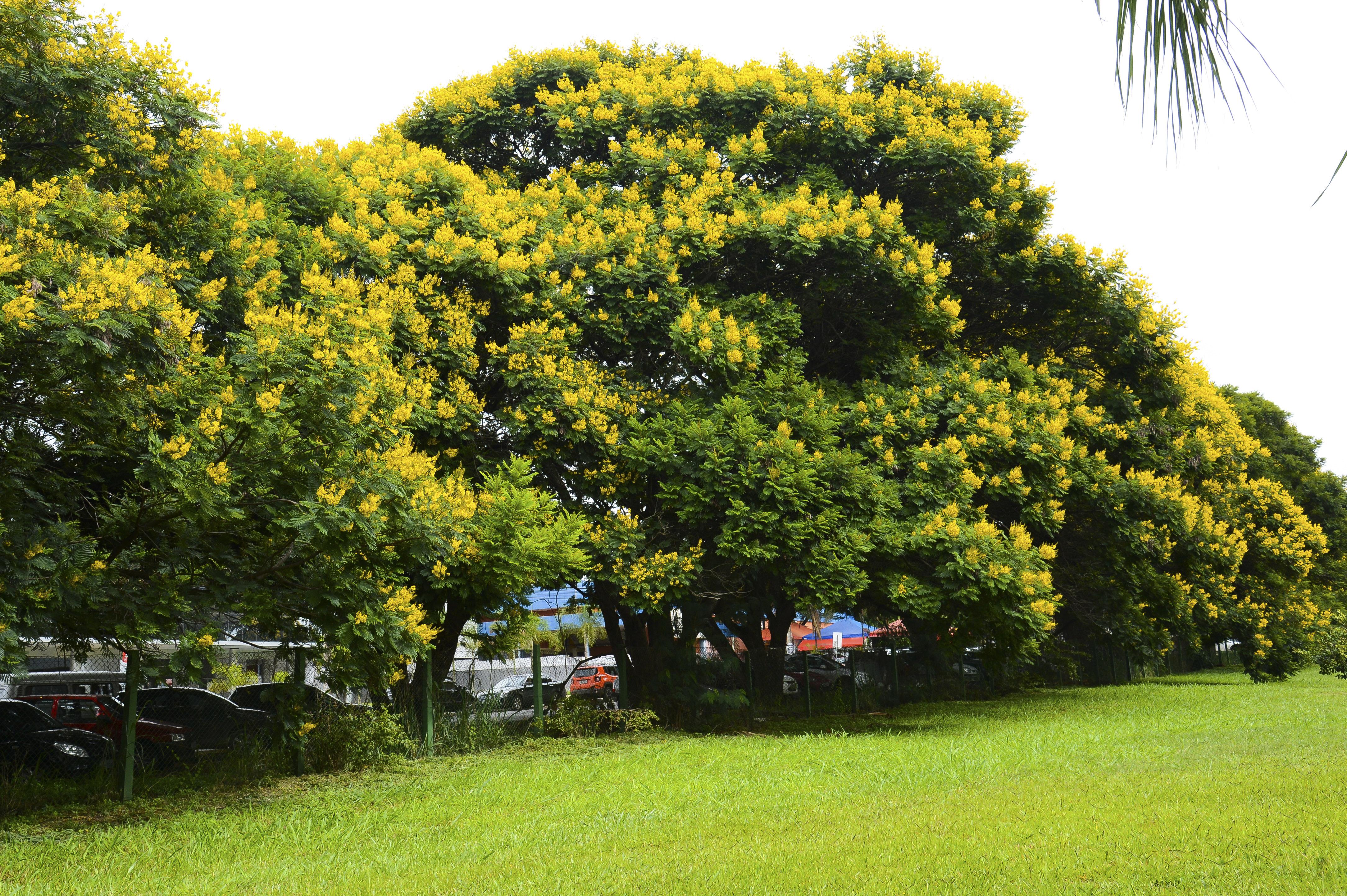 Árvores da espécie Peltophorum dubium, conhecida popularmente como Cambuí, enfeitam a capital federal