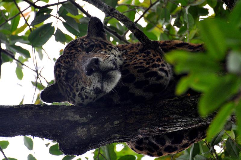 Amazon Jungle Animals To Be Monitored By Sensors Agencia Brasil